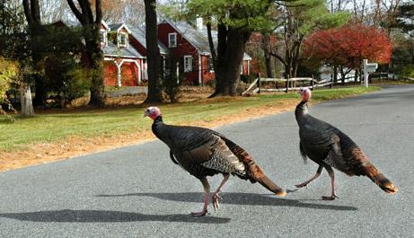 071119-wild-turkeys_big